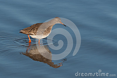 Redshank in water