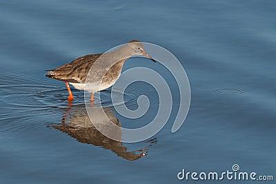 Redshank in water
