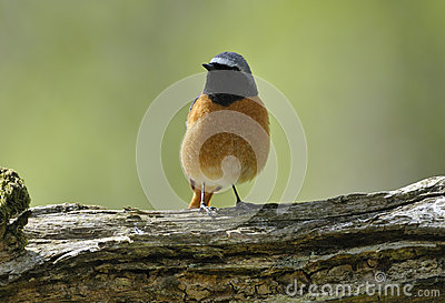 Redstart masculino