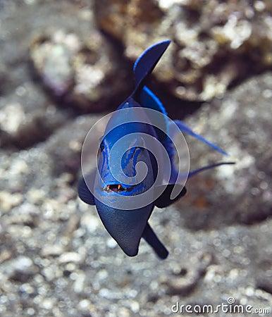 Free Redtooth Triggerfish Stock Photos - 11225493