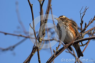 Redwing on blue sky