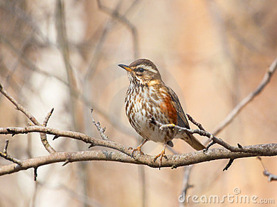 Redwing on the branch