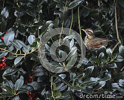 Redwing thrush