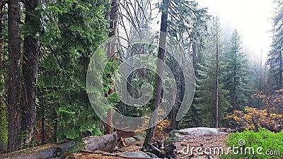 Redwood sekwoje na pogodnym spadku dniu w gigantycznym lesie zbiory