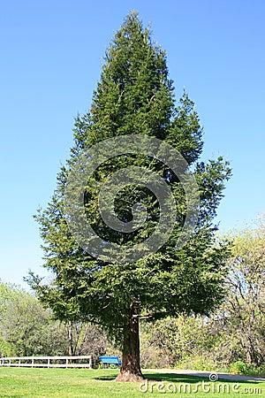 Single Redwood Tree