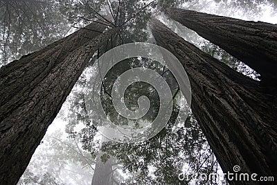 Redwood trees-1