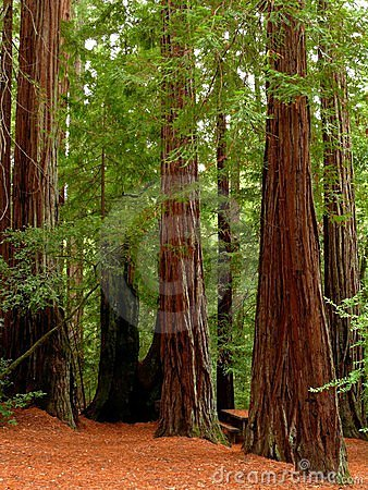 Free Redwood Trees Stock Photography - 3603052