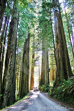 Free Redwoods Scenic Drive Royalty Free Stock Photo - 11894155