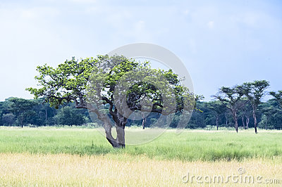 Tree in the Serengeti