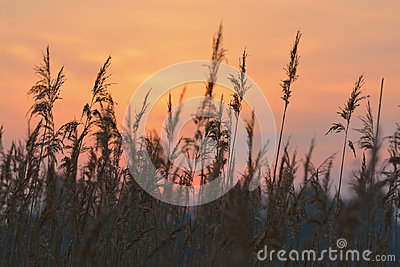 Reed against sunrise sky
