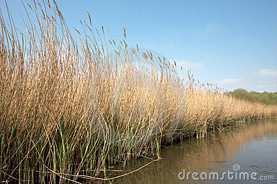 Reed Bed on Norfolk Broads Nature Reserve, England