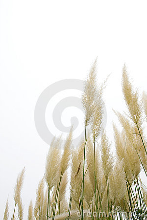 Reed flowers