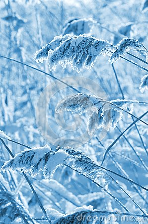 Reed in frost