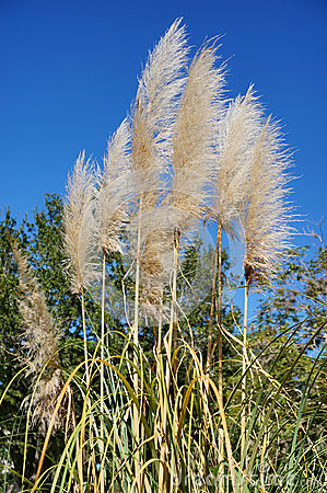 Free Reed Grass And Blue Sky Royalty Free Stock Photo - 48589795