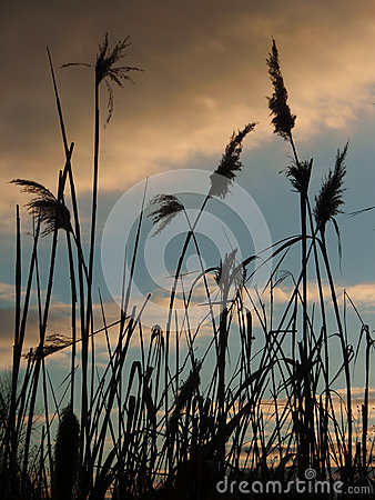 Free Reed Grass In The Evening Stock Image - 33982961