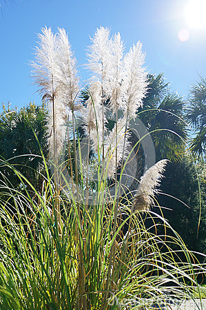 Free Reed Grass Under The Sunlight Royalty Free Stock Image - 48589266