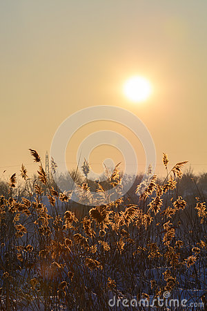 Free Reed In Snow And Sun Over The Sky. Vertical View With Reed Again Stock Photography - 67221172