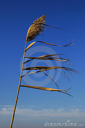 Free Reed In The Wind Stock Images - 13499534