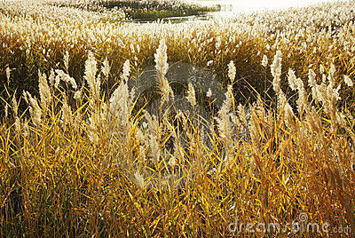 Reed marshes in autumn