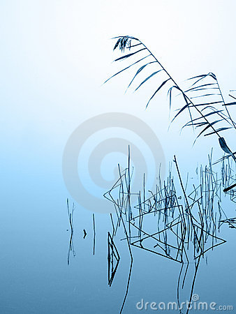 Reed in the mist
