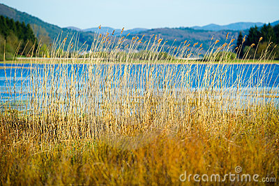 Reed near a lake