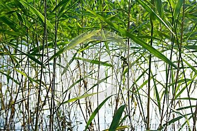 Reed pattern
