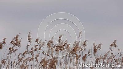 Reed Phragmites australis in de wind stock footage