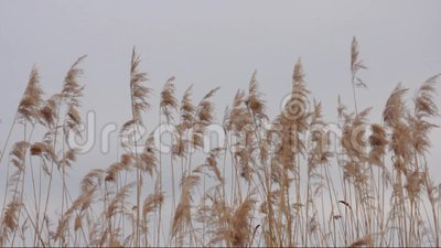 Reed Phragmites australis in de wind stock videobeelden