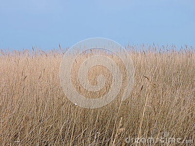 Reed plant Stock Photo