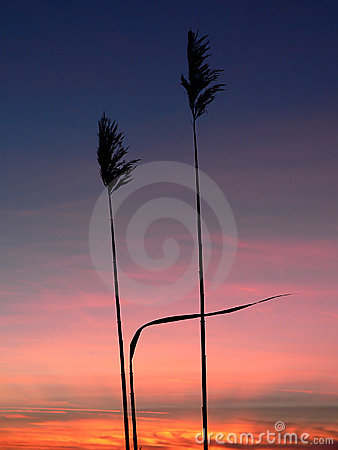 Reed silhouettes