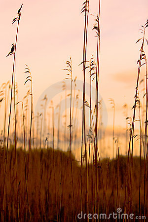 Free Reed Silhouettes Stock Image - 981491