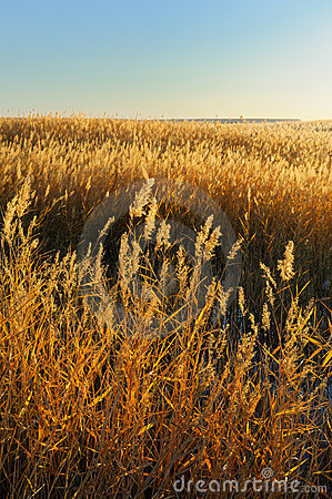 Free Reed Stalks In The Swamp Royalty Free Stock Photography - 16622967