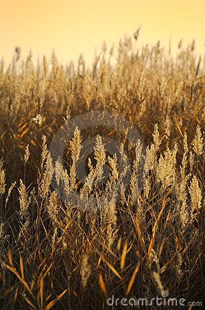Free Reed Stalks In The Swamp Royalty Free Stock Photo - 16679055