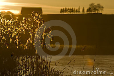 Reed in the sundown