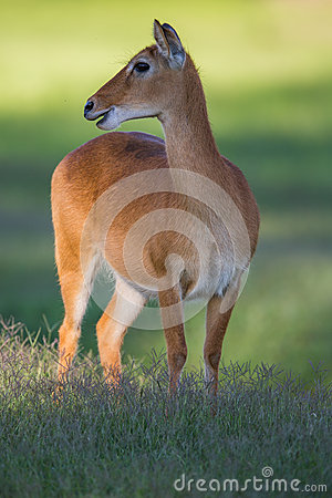 Reedbuck deer in the wild