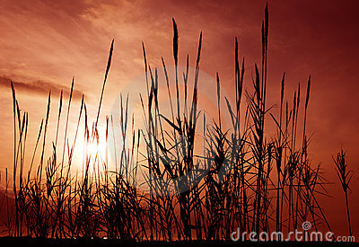 Reeds aganst a red sky