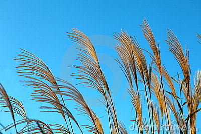 Reeds with blue sky at sunrise