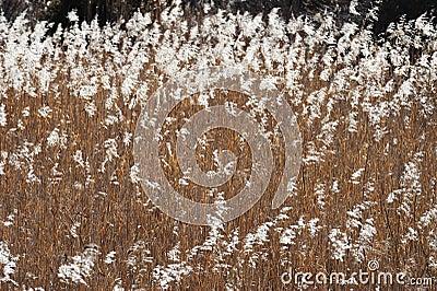 Reeds in field