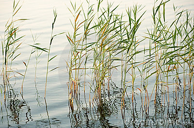 Reeds in shallow water