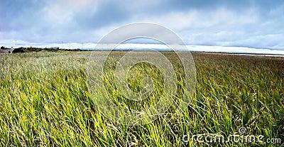 Reeds at Shoreline