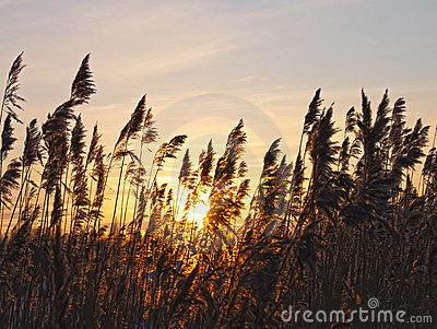 Reeds on a sunset.