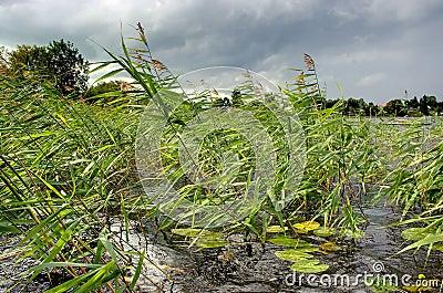 Reeds wind