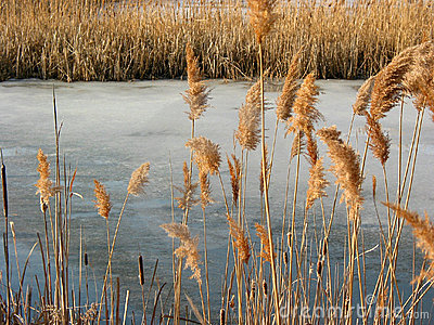 Reeds winter pond