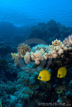 Reef fish couple under coral