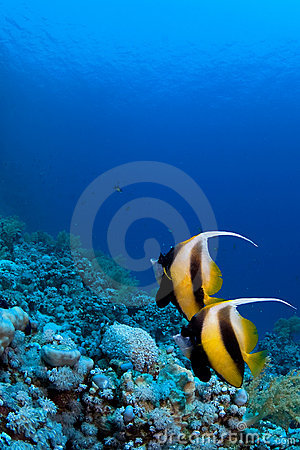 Free Reef Fish On Coral Stock Images - 3501334