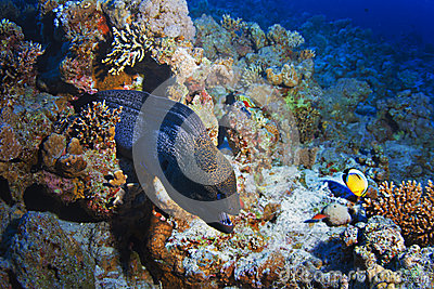 Reef with giant grey moray eel and fishes
