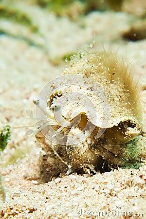 Reef Hermit Crab(Dardanus lagopodes)