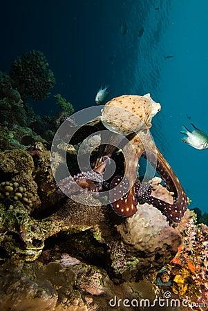 Reef octopus (Octopus cyaneus)