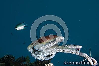 A Reef octopus (Octopus cyaneus)