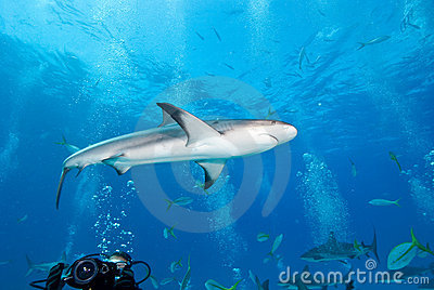Reef Shark in Caribbean